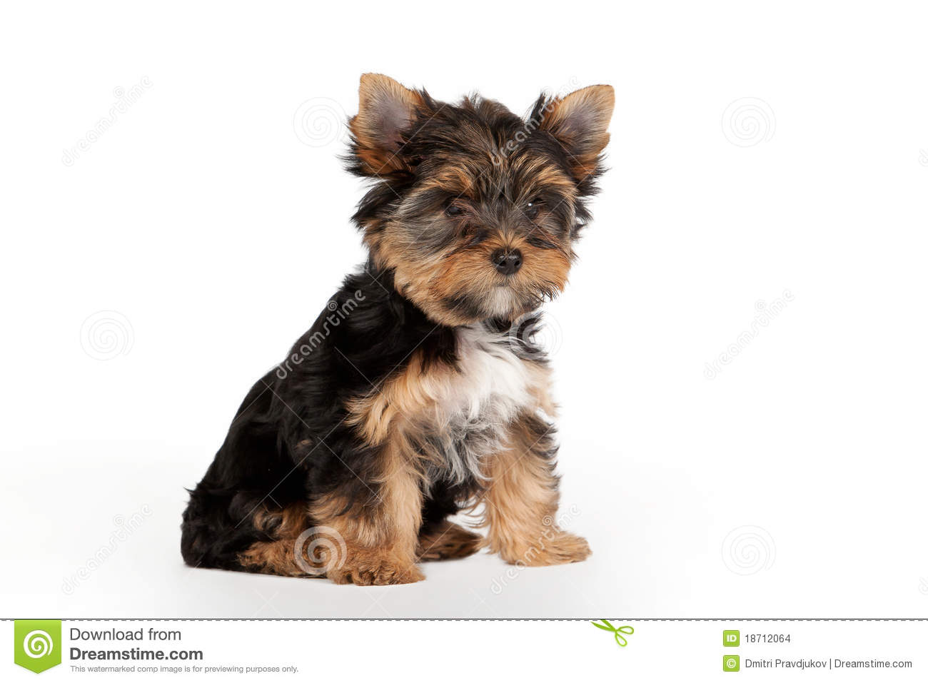 Yorkie Puppy Stock Images   Image  18712064