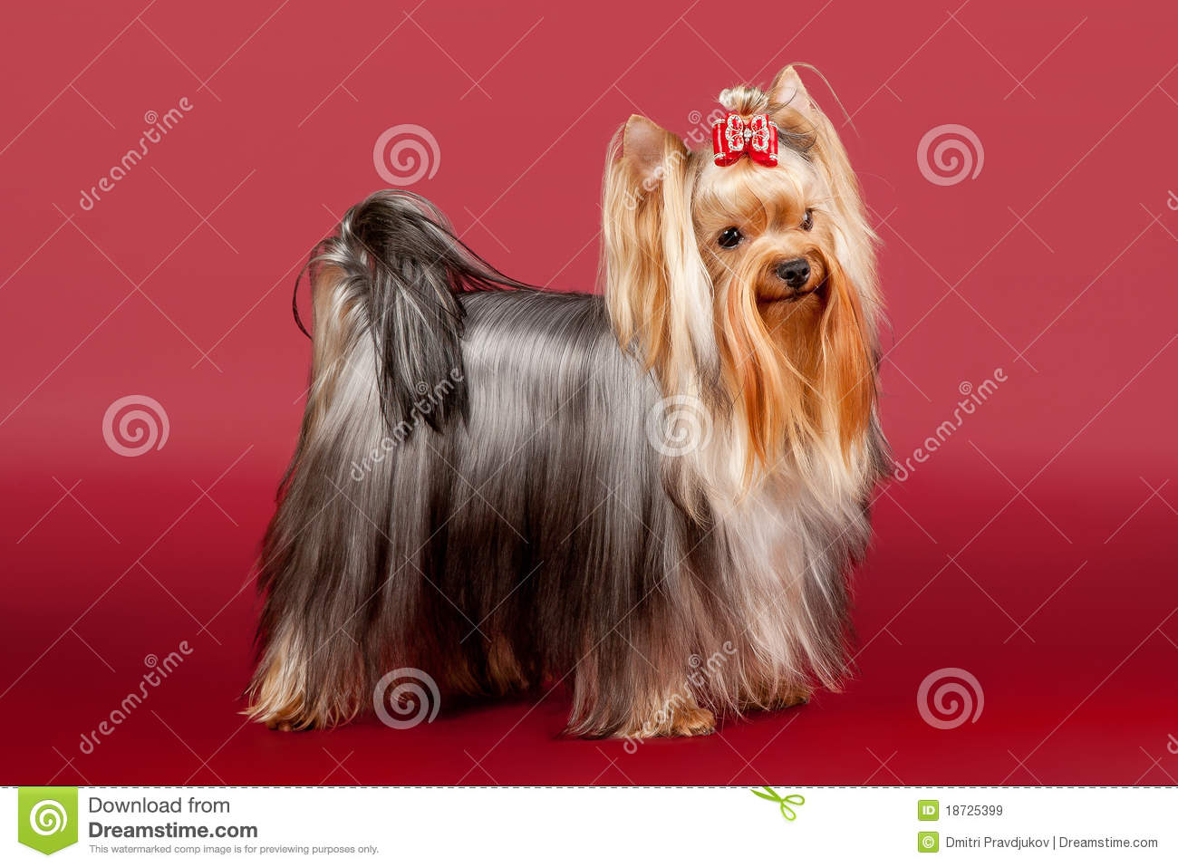 Yorkie Royalty Free Stock Images   Image  18725399