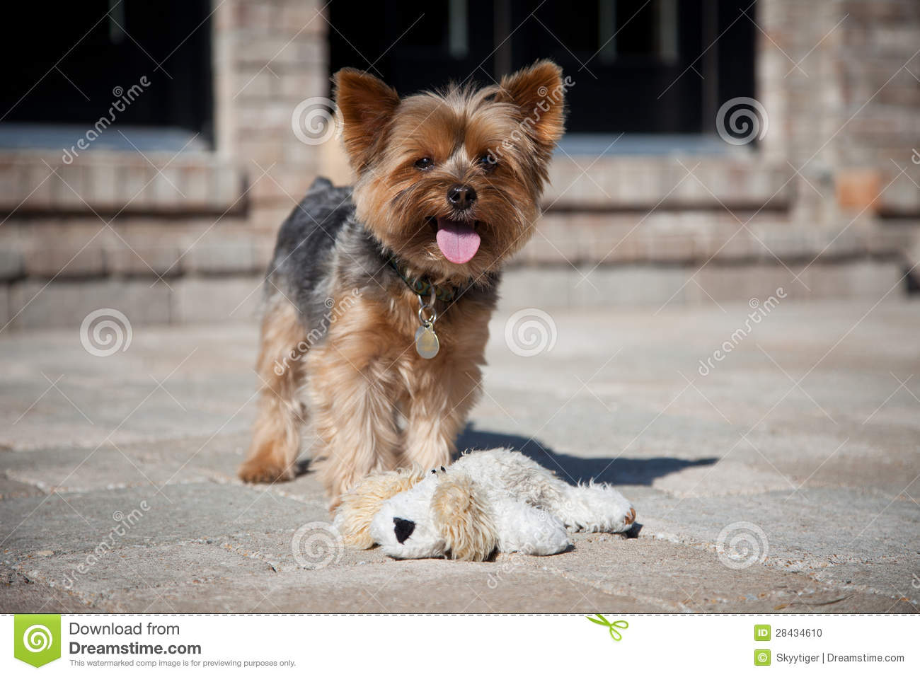 Yorkie Standing On Stone Patio Tongue Hanging Out Wearing Collar And