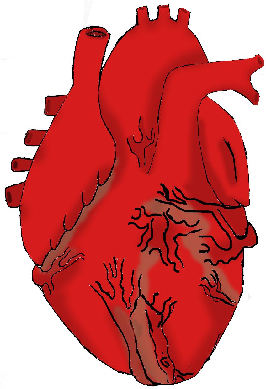free clip art human heart - photo #40