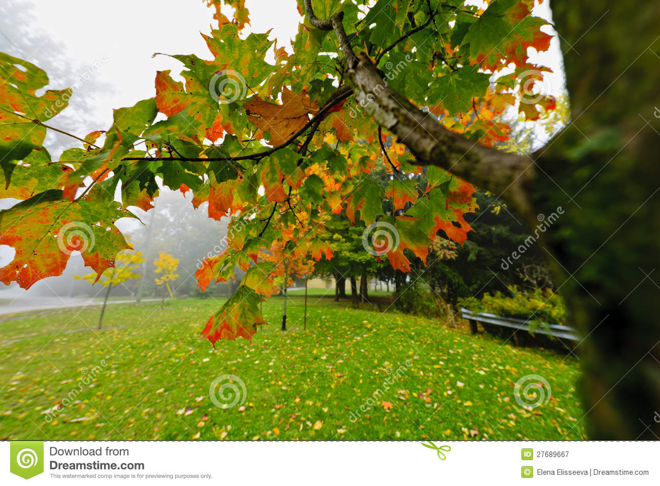 Fall Maple Tree In Foggy Park Royalty Free Stock Photography   Image
