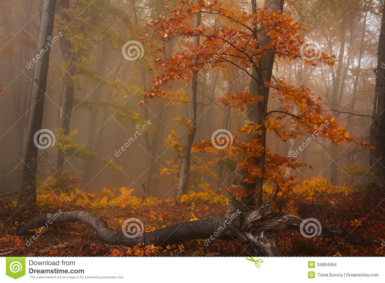 Foggy Forest During Fall And A Red Tree Stock Images   Image  34684564