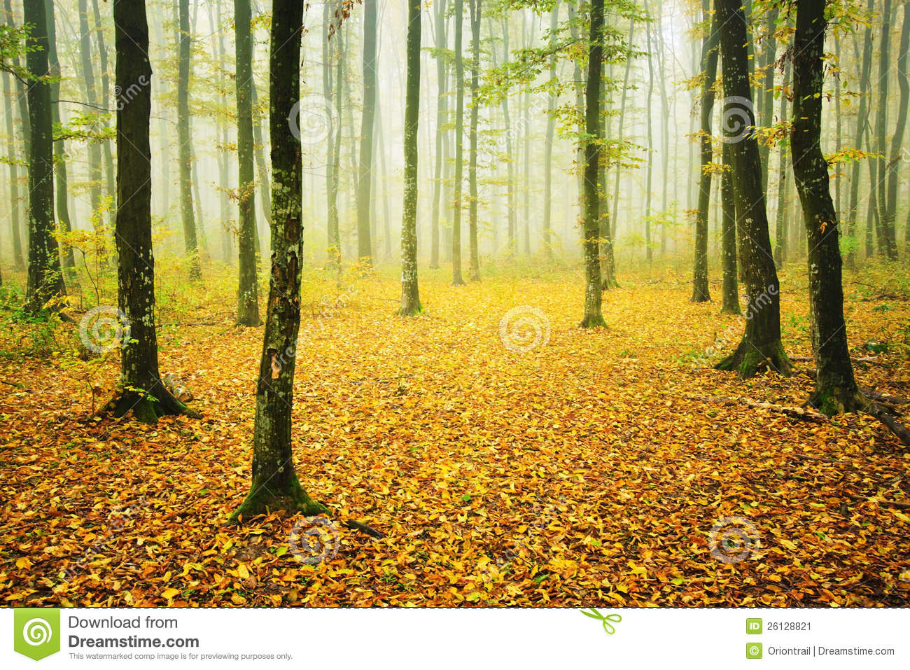 Foggy Forest With Fallen Leaves In Autumn