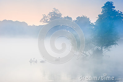 Free Stock Photo  Bevy Herd Of Swans On Misty Foggy Autumn Fall Lake
