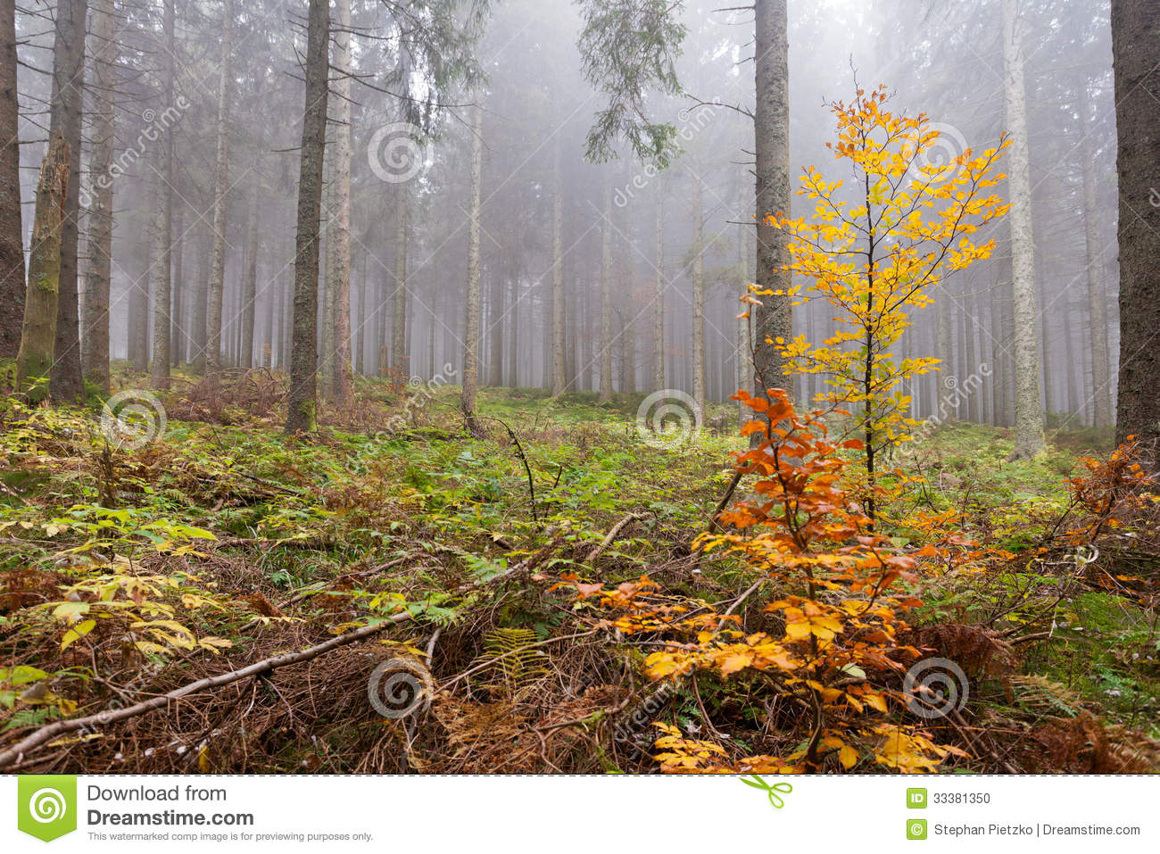 Wet And Foggy Peaceful Fall Day In The Forest With Tall Old Coniferous