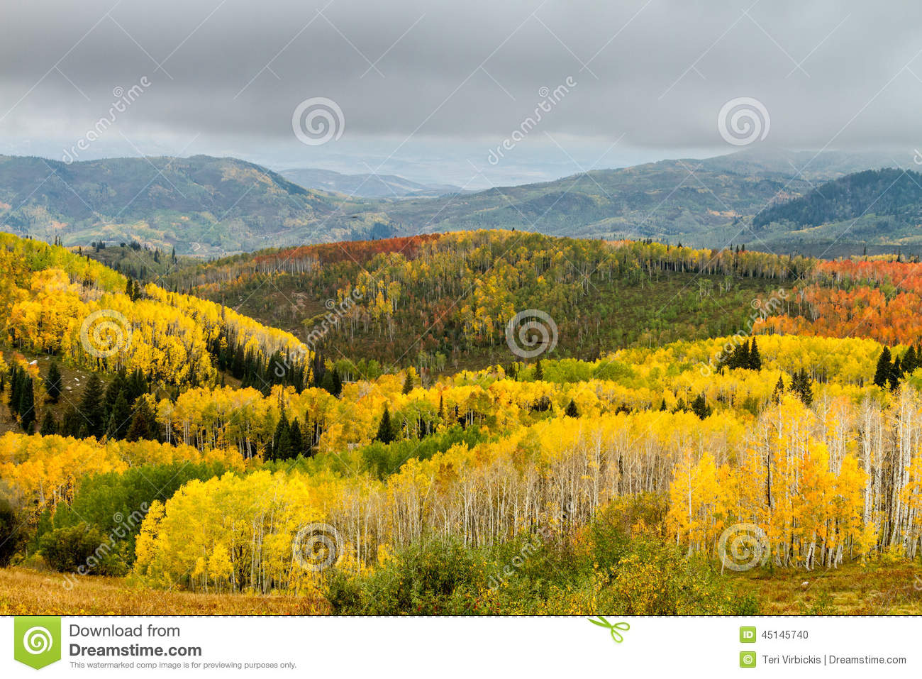 Yellow Orange And Green Changing Aspen Trees On Foggy Fall Morning