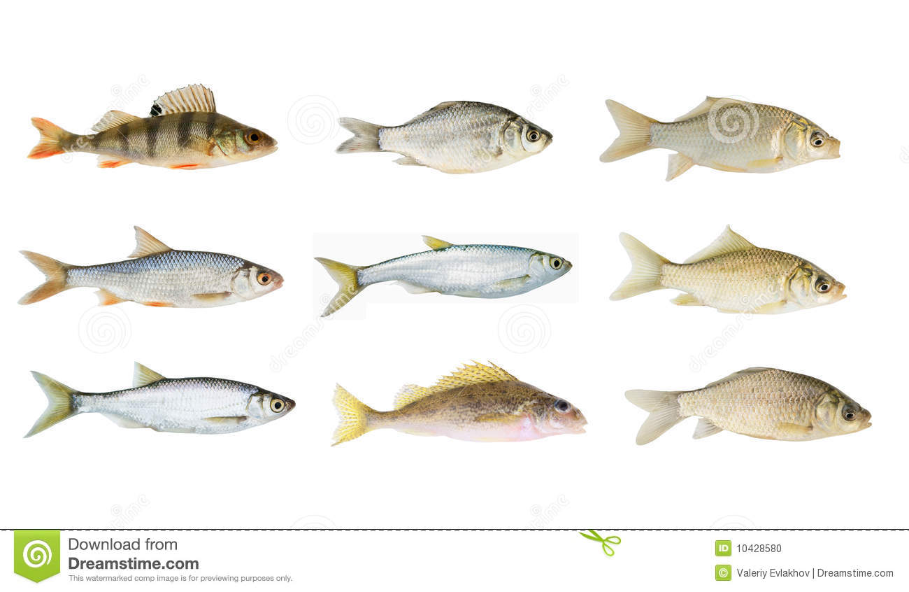 Big River Fish Collection Isolated Stock Photo   Image  10428580