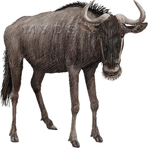 Blue Wildebeest  Connochaetes Taurinus  Clipart Picture   Large