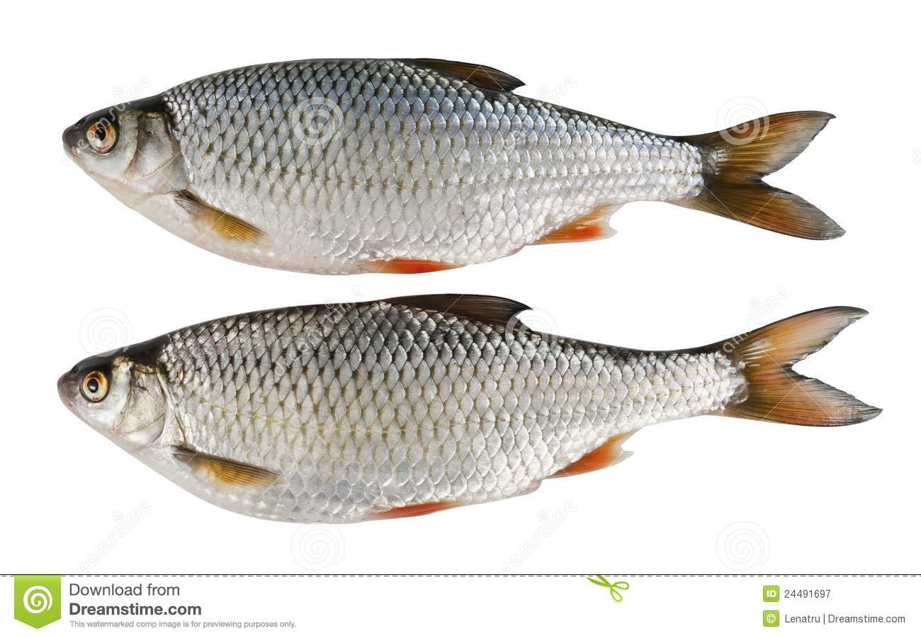 Two River Fish Roach Over White Royalty Free Stock Photography