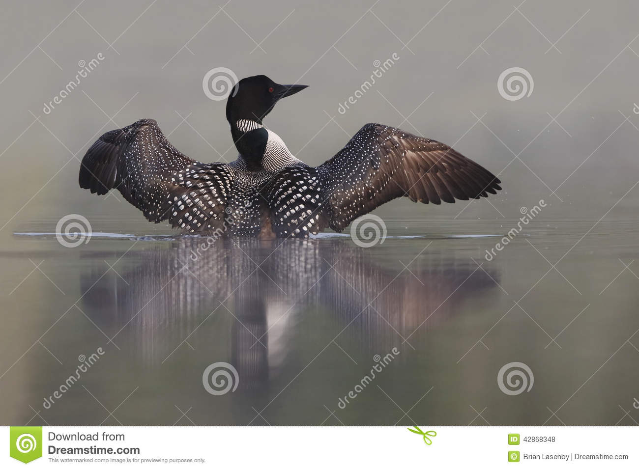Common Loon  Gavia Immer  Rising Out Of Water On A Misty Lake