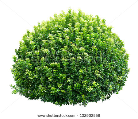 Round Ornamental Bush Isolated On White Background   Stock Photo