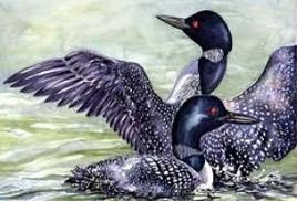 Tags Common Loon Birds Did You Know The Common Loon Is The State Bird