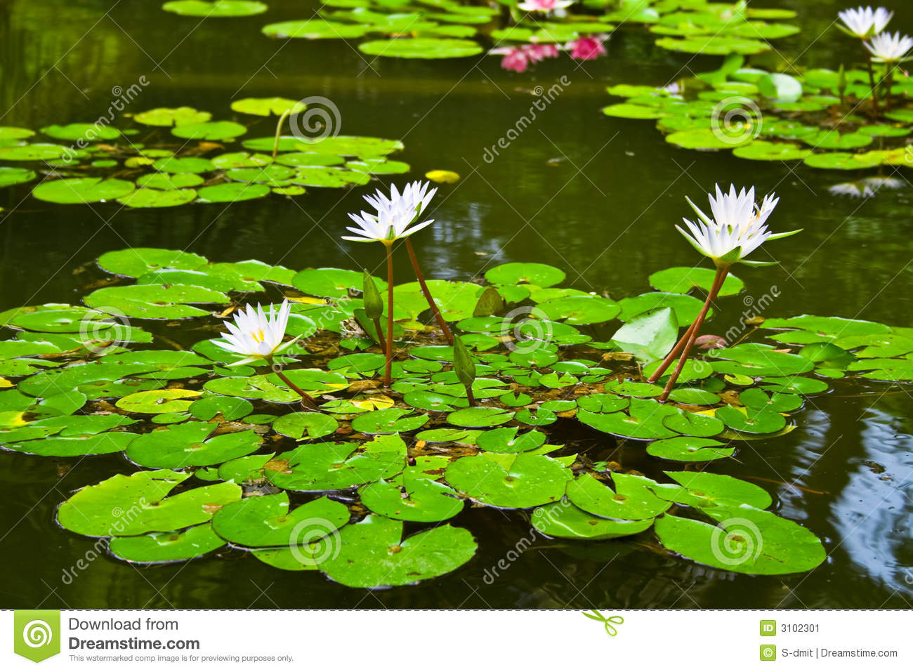 Water Lily In Pond Stock Image   Image  3102301