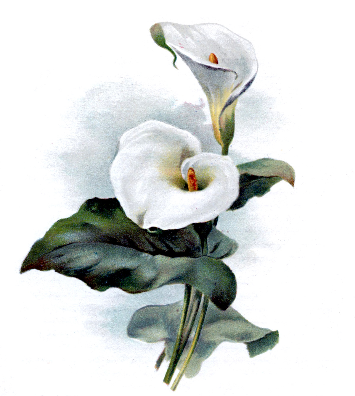 Vintage Botanical Graphic   Cala Lily   The Graphics Fairy