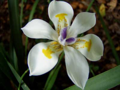 Fortnight Lily Or African Iris   Morea Iris Or Dietes Iridioides  This
