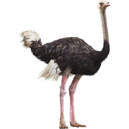 Clip Art Ostrich Clipart ostrich clipart kid graphics free clip art