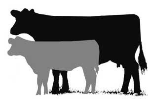 Clip Art Show Steer Clip Art show cattle clipart kid livestock clip art beef cow longevity series set