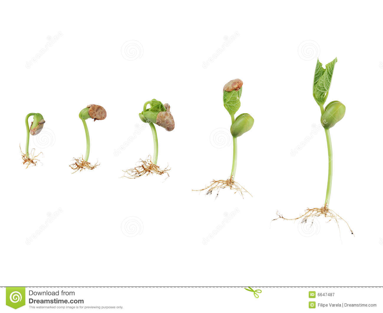 Royalty Free Stock Photography  Bean Seed Germination