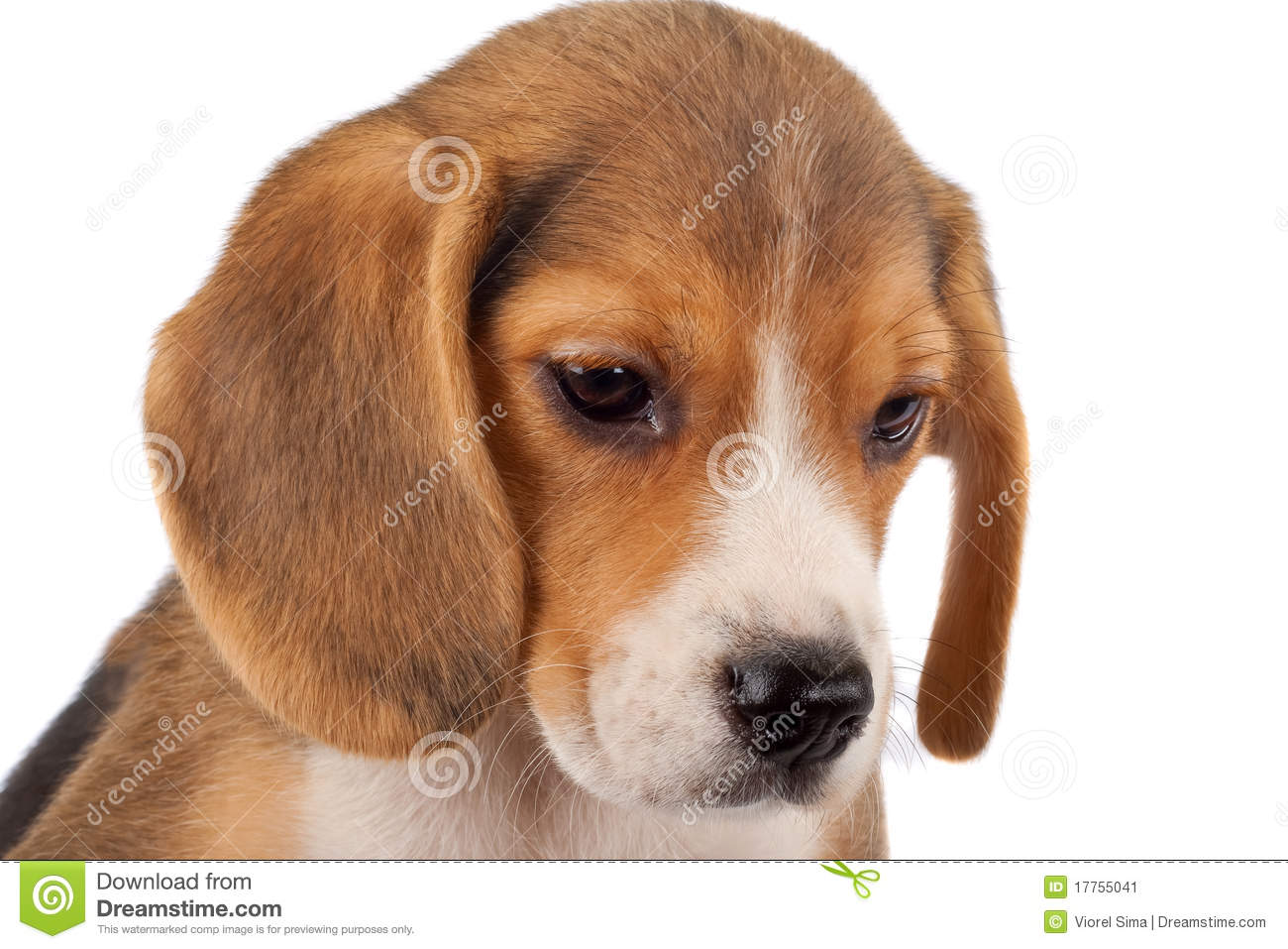 Beagle Face Stock Image   Image  17755041