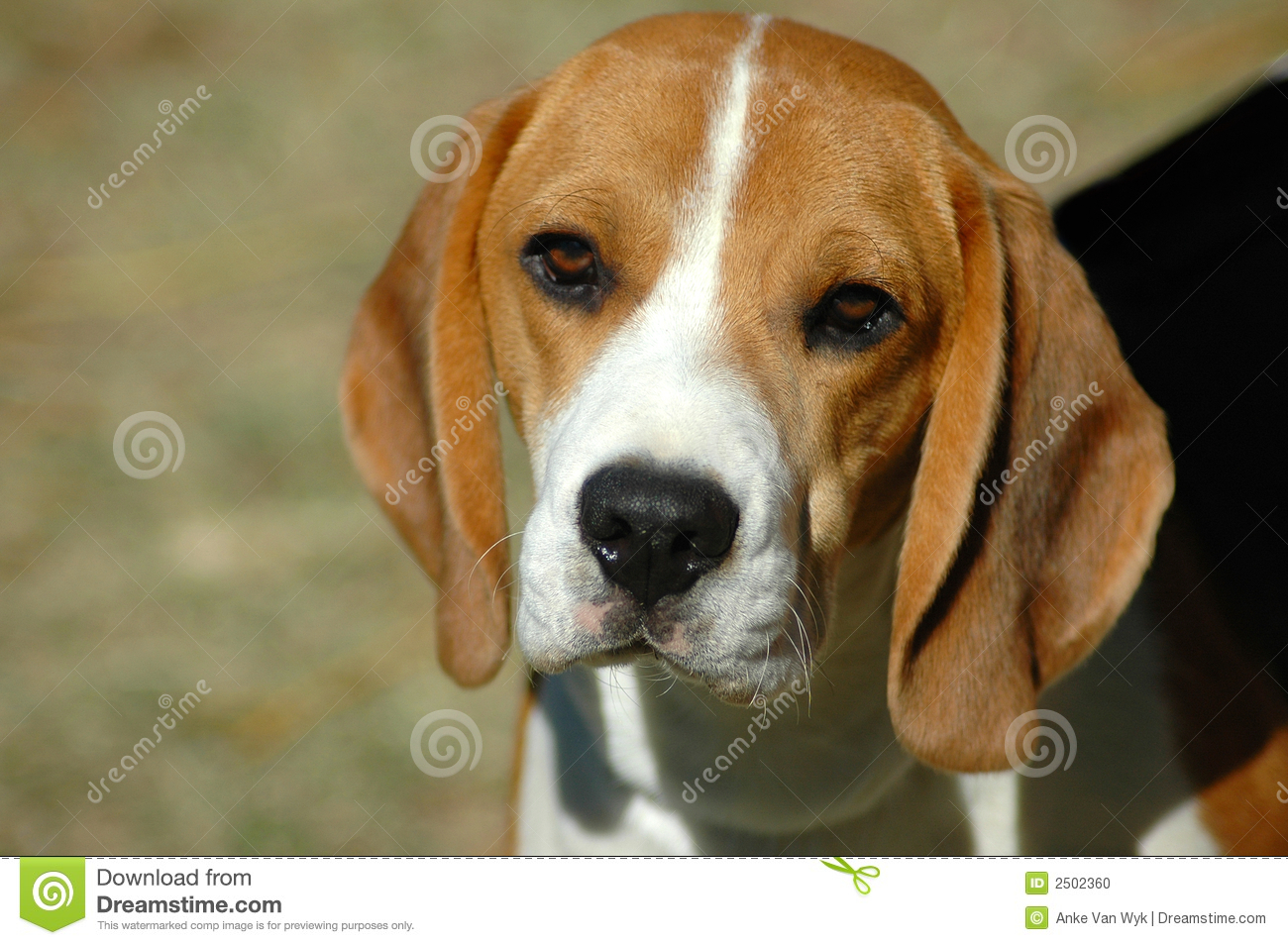 Beagle Hound Dog Head Portrait With Cute Expression In The Face