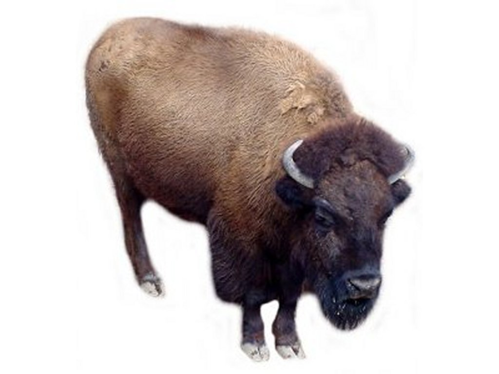 Buffalo Clip Art Pictures   Free Quality Clipart