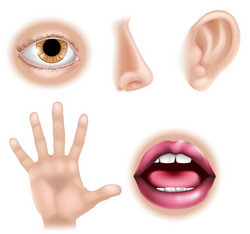 Five Senses Body Parts Stock Vector
