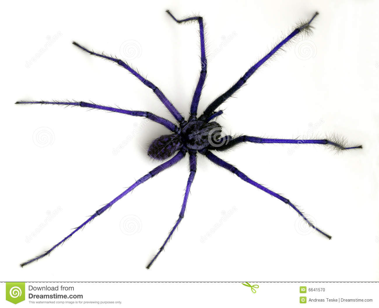 Blue Spider Stock Photo   Image  6641570