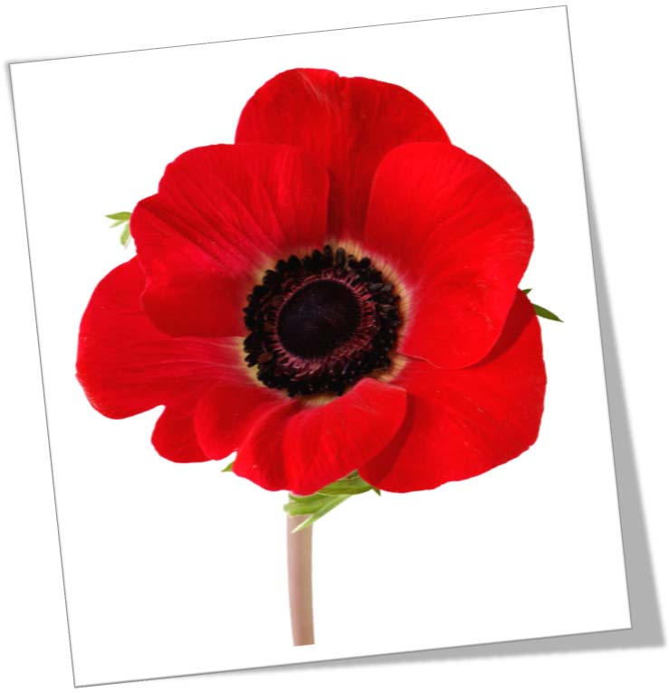 Watch more like Orange Poppy Flower Clip Art
