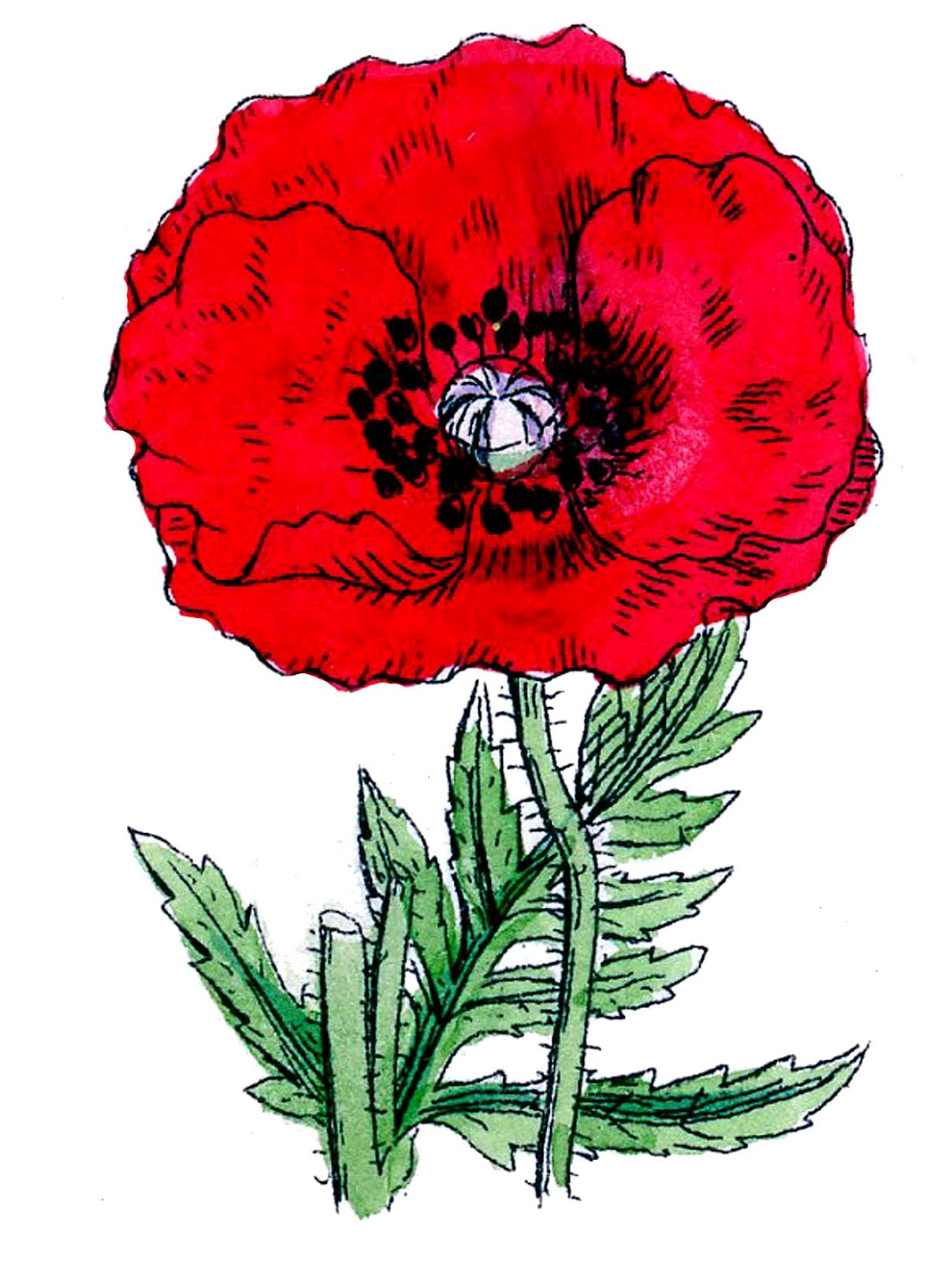Vintage Botanical Clip Art   Poppies   The Graphics Fairy