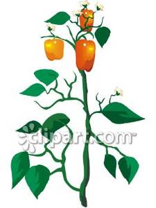 An Orange Bell Pepper Plant Royalty Free Clipart Picture
