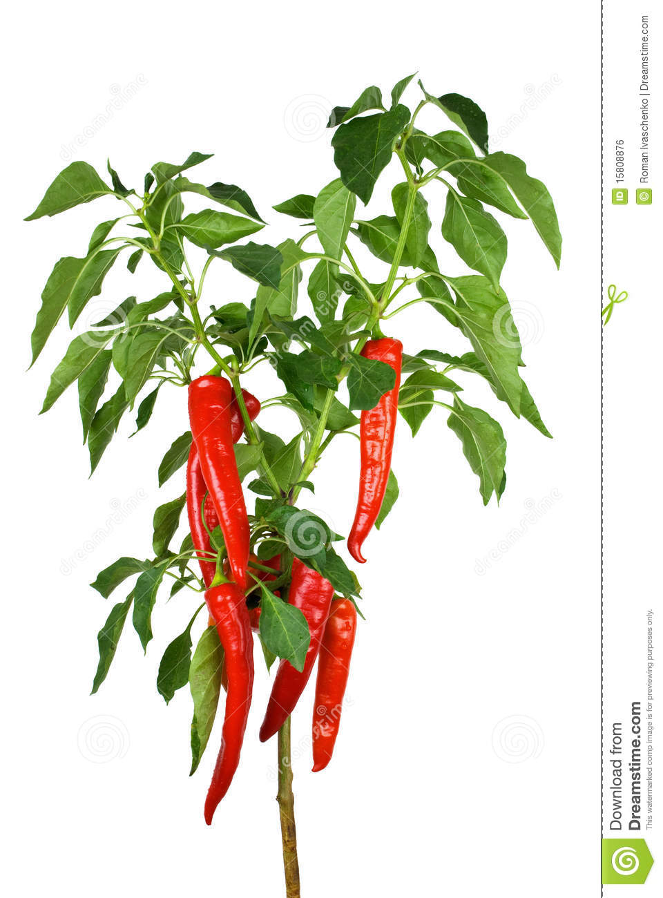 Chili Pepper Plant Royalty Free Stock Image   Image  15808876