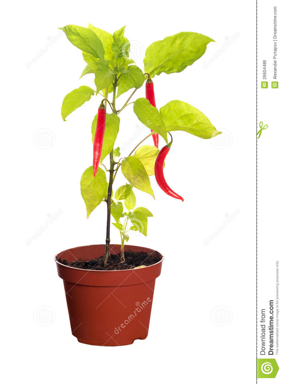 Chili Peppers On Plant In Pot Royalty Free Stock Image   Image