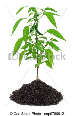 Hot Pepper Plant Blooming With Flowers And Little Peppers   Isolated