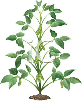Pepper Plant Clipart