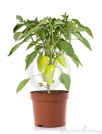 Pepper Plant Clipart Pepper Plant Vegetables Royalty Free Stock Photo