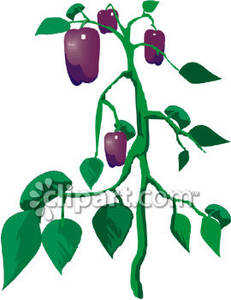 Purple Bell Pepper Plant Royalty Free Clipart Picture