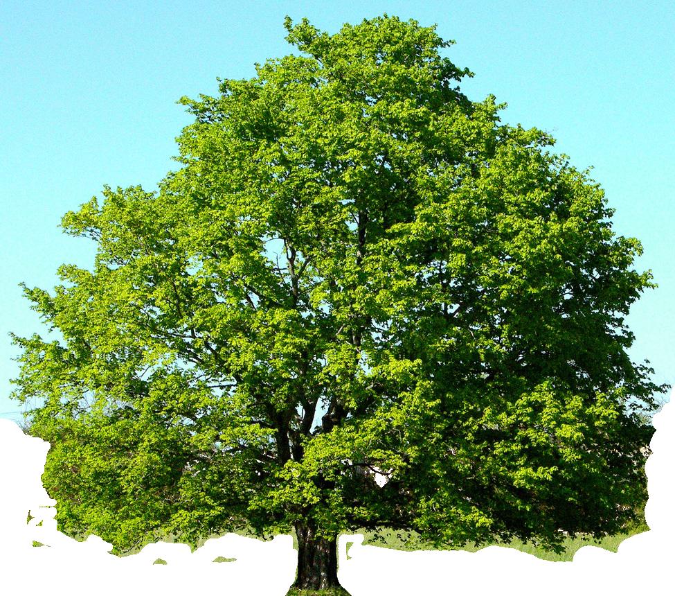 Oak Tree Clip Art – Cliparts