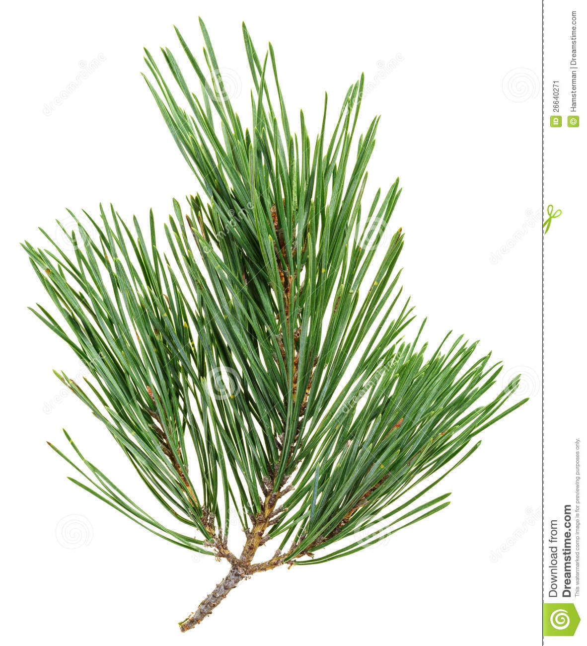 Back   Gallery For   Pine Needle Clip Art