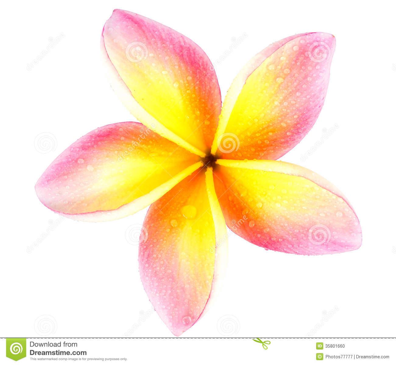Free Plumeria Flower Clip Art