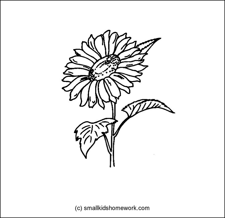Sunflower   Outline And Coloring Picture With Facts