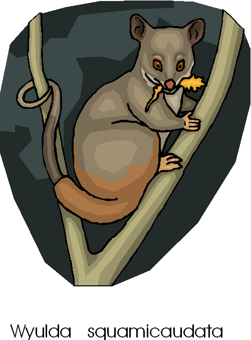 Scaly Tailed Possum Free Animal Clipart