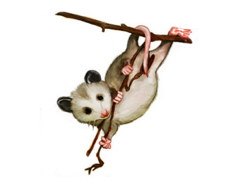 Watercolor Hanging Possum   Digital Nature Print   Digital Clipart
