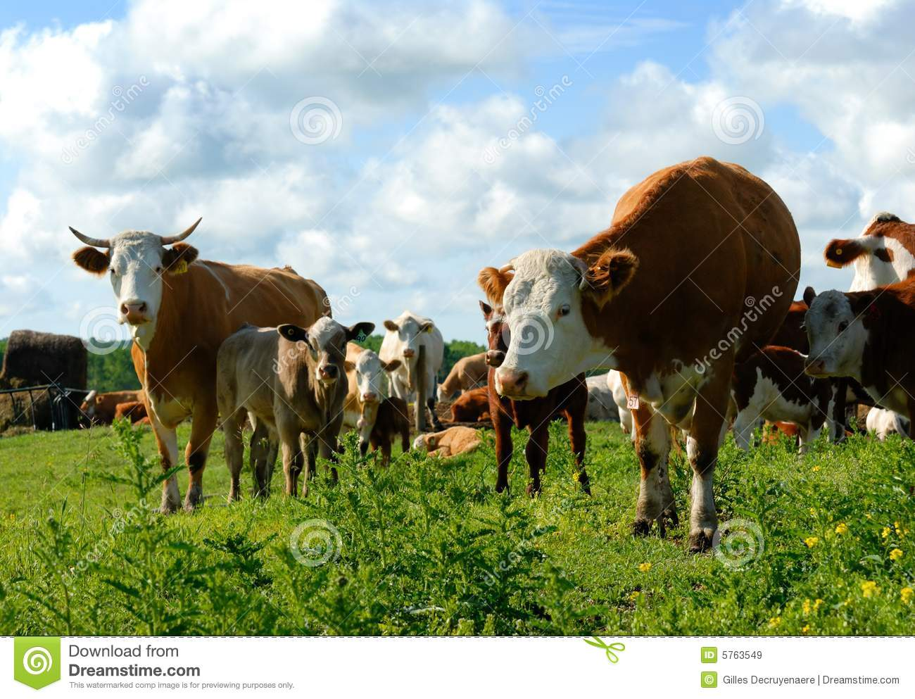 Dairy Cows In A Herd Royalty Free Stock Images   Image  5763549