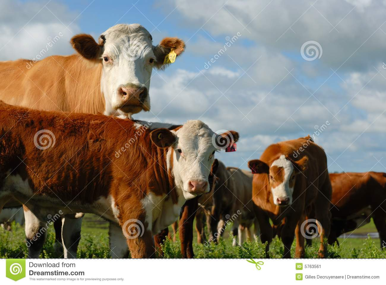 Dairy Cows In A Herd Stock Image   Image  5763561