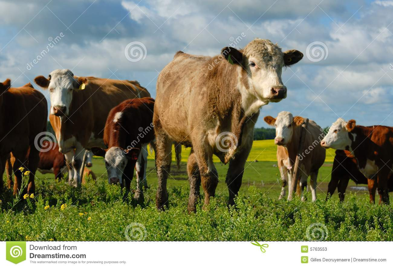 Dairy Cows In A Herd Stock Photos   Image  5763553