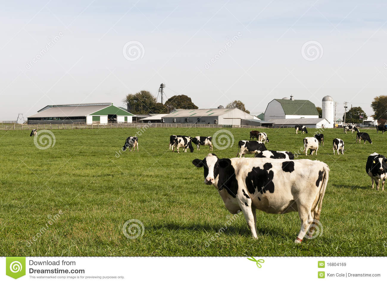 Herd Of Black And White Holstein Dairy Cows In A Farm Pasture  Farm