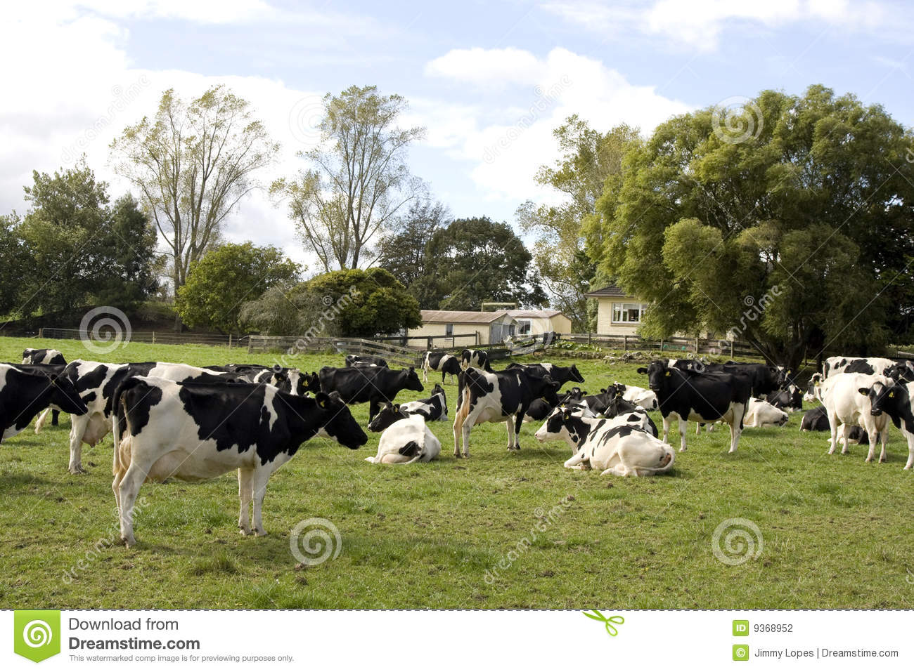 Herd Of Dairy Cows Stock Photography   Image  9368952