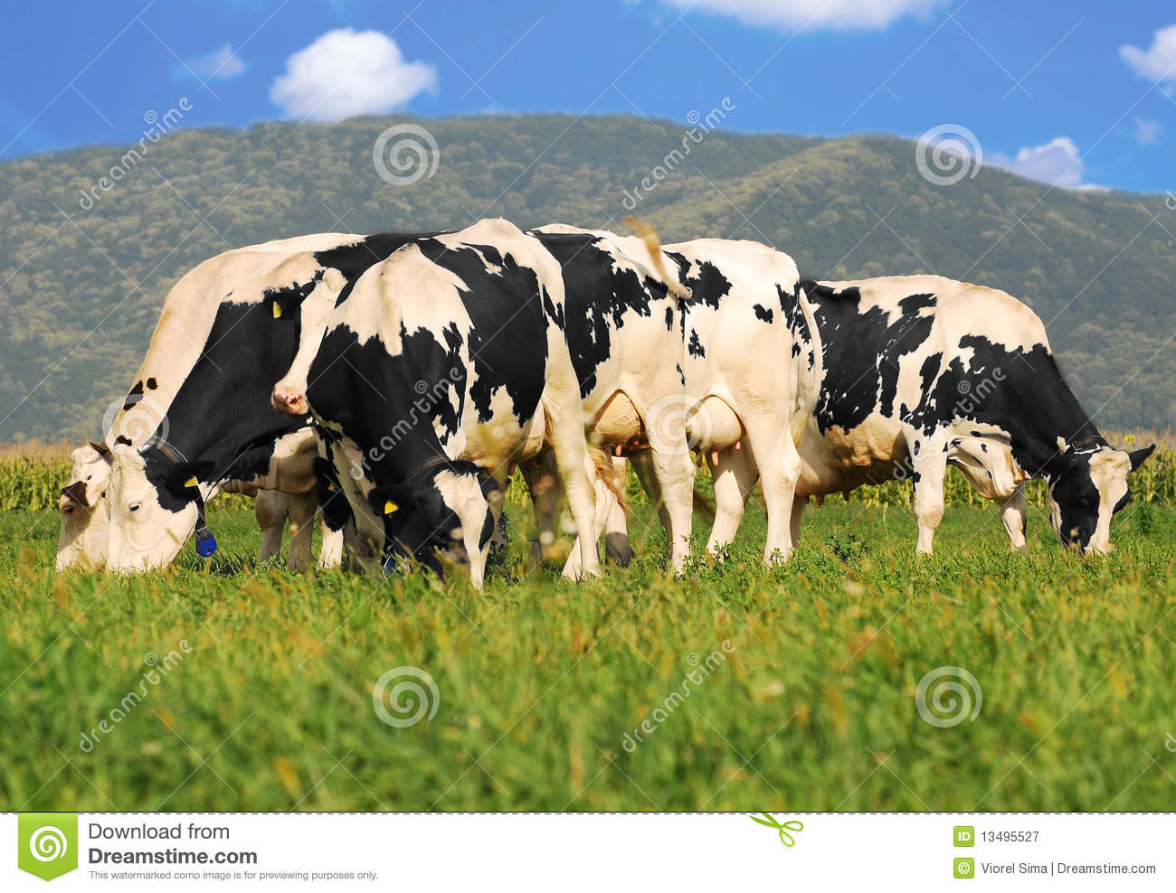 Holstein Cows On Grass Field Royalty Free Stock Photography   Image
