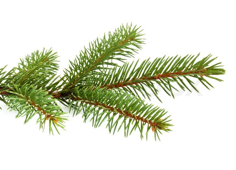 Pine Tree Branch Isolated On White Backgrond   Stock Photo   Colourbox