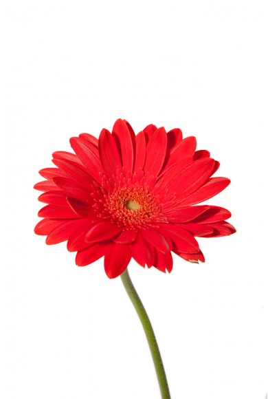 Red Daisy Clipart - Clipart Kid